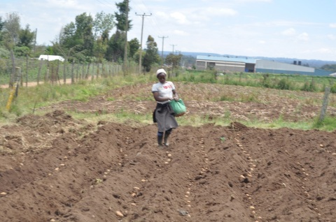 Potato planting in Nyandarua.